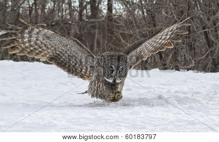 Great gray owl in flight