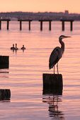 Great Blue Heron and sunset*** Note, slight graininess, best at smaller sizes. poster