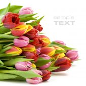 bouquet of the fresh tulips on white background (With sample text) poster