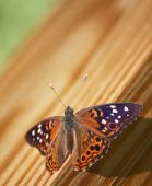 Hackberry Emperor Butterfly (Asterocampa celtis) on wood background. poster