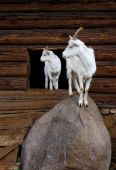 White goat with the kid, standing on a stone about a shed. poster