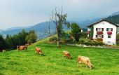 Alpine farm , cows, beautiful country view poster
