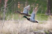 Male and Female Mallards in flight above lake in soft focus poster