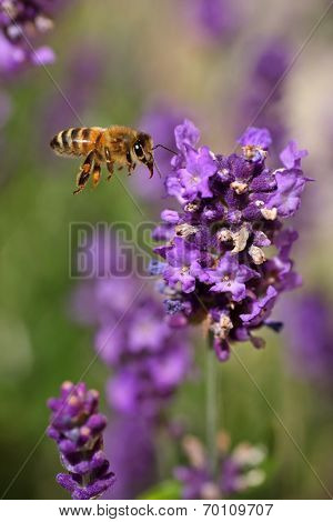 Honey bee mid flight, ready to collect pollen and nectar from lavender. slightly oof to bees eye.