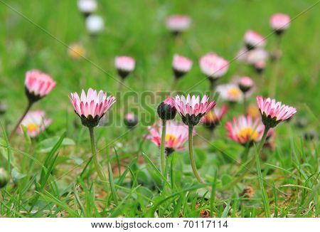 Daisies At Garden Lawn