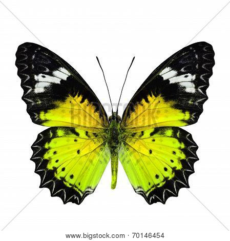Beautiful Yellow Butterfly in fancy color profile isolated on white background
