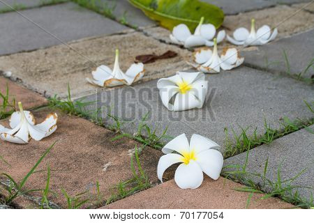 Plumeria drop on brick tiles