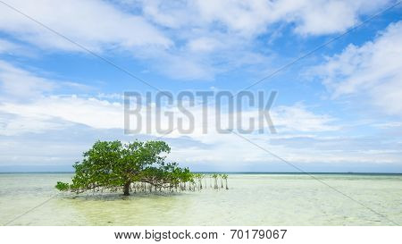 single mangrove in shallow water