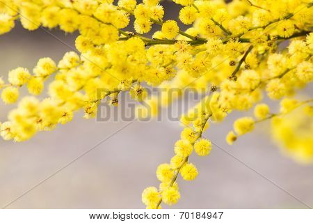 Golden Wattle Flower (Acacia Pycnantha)