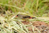 beautiful juvenile male Red Avadavat or Strawberry Finch (Amandava amandava) poster