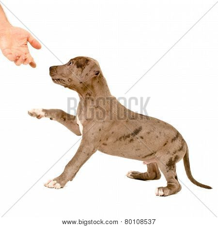 Puppy of pitbull gives a paw