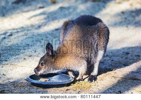 Parma Wallaby Feeding