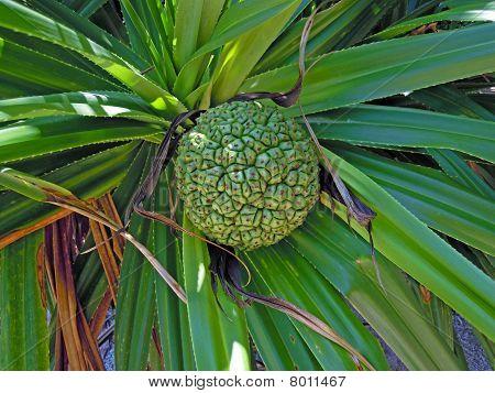 Adan Fruit