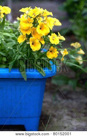Yelow Nemesia Flowers Close Up In A Blue Flowerpot
