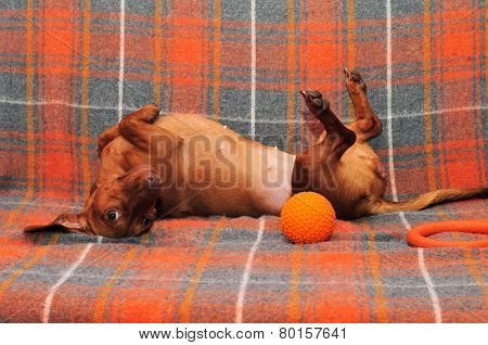 Dog lying on the couch, the dog plays. Dachshund breed of dog, a young female.