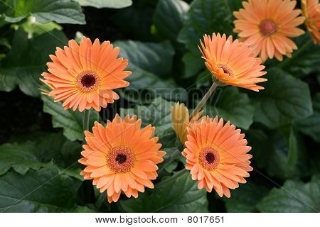 Herbera daisy flowres close up in a garden poster