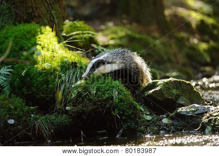 European badger sniffing next to the forest stream poster