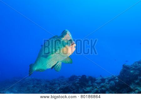 Bumphead Parrotfish on a tropical reef