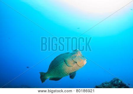 Bumphead Parrotfish in blue water