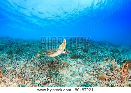 Green Turtle swimming on a tropical reef