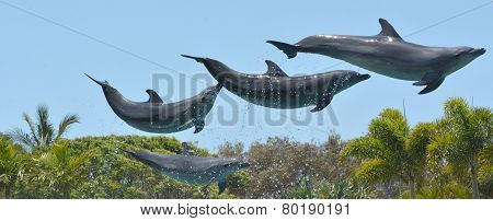 Dolphins Jumps In The Air
