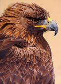 Golden Eagle portrait taken from the side against a plain tan background. poster