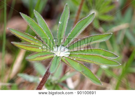 Lupine Leafs And Water Drops, Short Focus