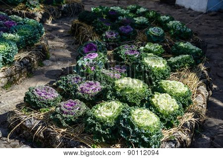 Organic Longlived Cabbage In The Garden With Sunlight