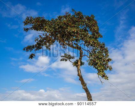Holly Tree Close Up