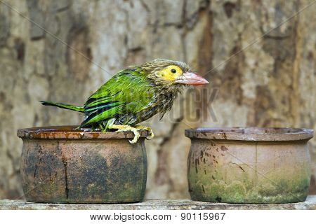 Brown-headed Barbet In Minneriya, Sri Lanka