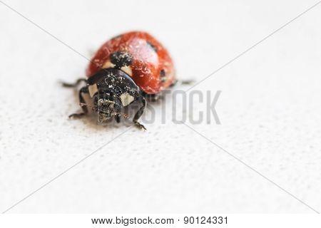 Lady Bug After Hibernation In Spring