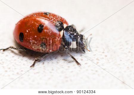 Ladybug After Hibernation Close Up