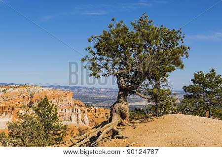 Bristlecone Pine Silhouetted Against Blue Sky At Bryce Canyon