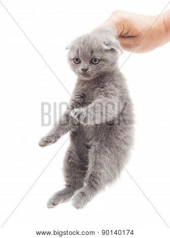 Hand Holding A Gray Kitten