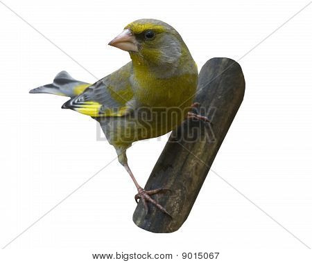 The greenfinch over white