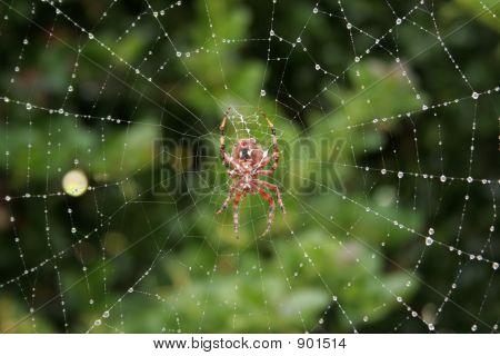 Orb Weaver, Dewy Web