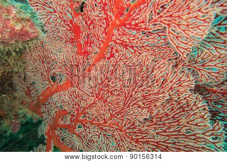 Red gorgon