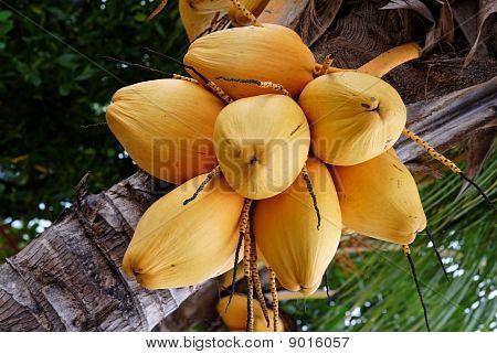Ripe Coconuts