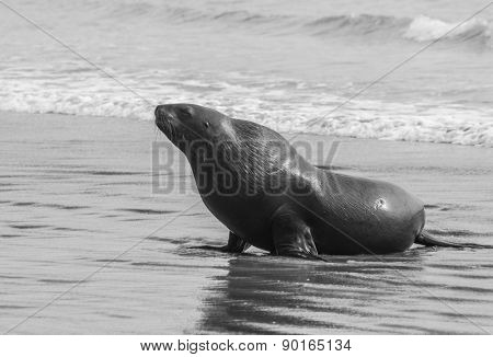 Adult New Zealand sea lion (Phocarctos hookeri) on the Curio Bay beach as it is comming from the sea, Southland - New Zealand. Monochrome
