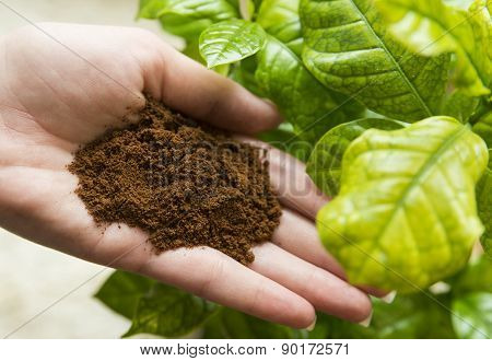 Coffee in hand and coffee plant