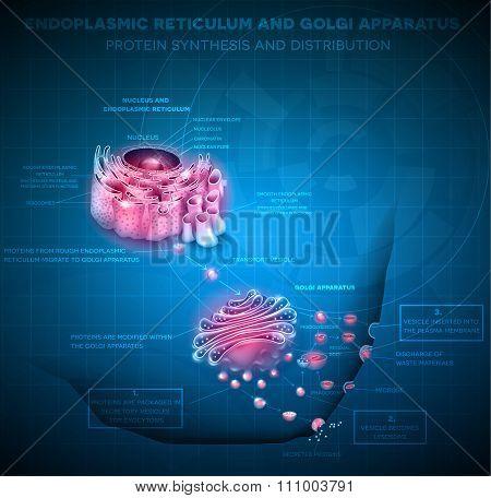 Endoplasmic reticulum and Golgi Apparatus