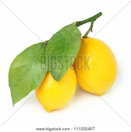Lemons On A Branch Isolated.