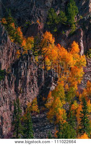 Aspen Trees Fall Colors