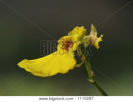 Small Yellow Orchid