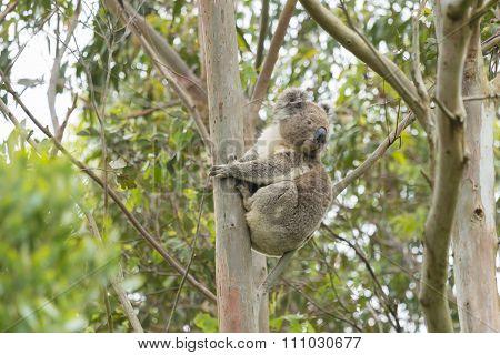 Koala on a eucalyptus tree