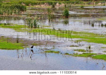 Swamp Hen in the Beelier Wetlands