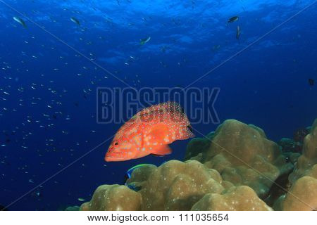 Coral Grouper fish on underwater reef
