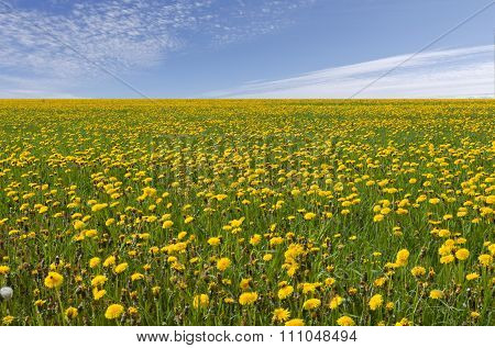 Vast field, meadows with yellow dandelion.