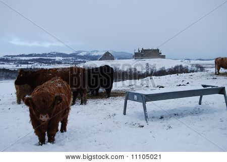 Highland cattle brave the winter elements at ruthven barracks in the Scottish highlands poster