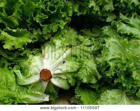 Fresh market lettuce in Paris